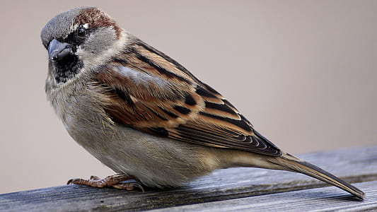 focus photography of Eurasian tree sparrow