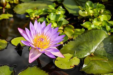 photo of purple lotus flower during daytime