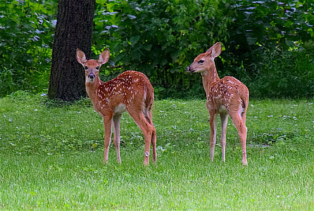photo of two brown deer standing on green grass near trees