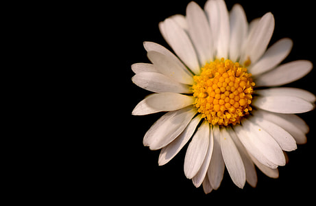 white chamomile flower in bloom