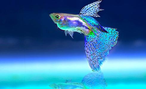 blue, grey, and black guppy fish