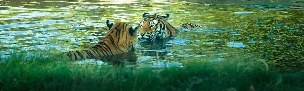 two tigers in body of water during daytime