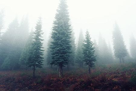 assorted Pine tress