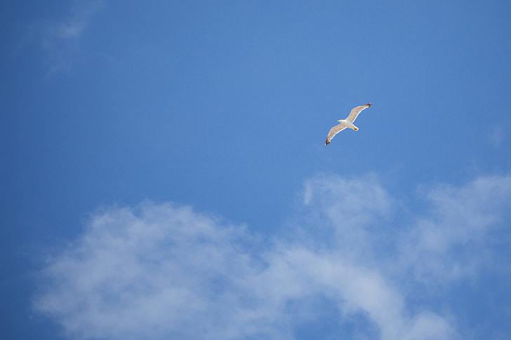 Flying Seagull — Free as a Bird