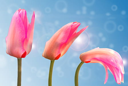 closeup photo of three pink tulip flowers