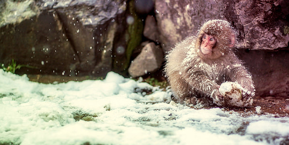 snow monkey holding snow