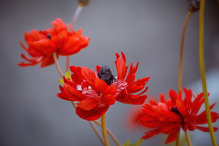 red poppies in bloom at daytime