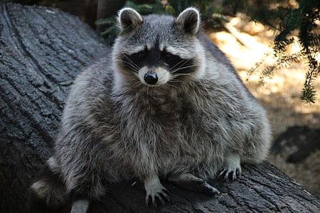 brown raccoon sitting on tree trunk