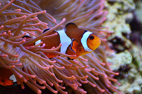 clown fish beside yellow anemone