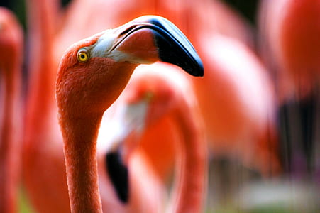 focus photography of pink flamingo