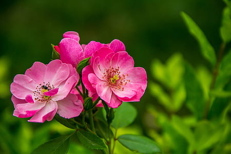 pink flowers in focus photography