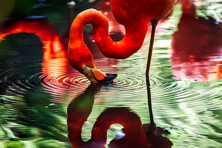 red flamingo on body of water