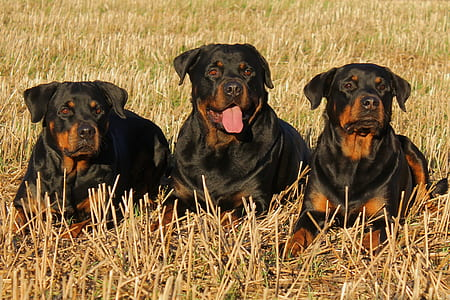 three adult mahogany Rottweilers laying on grass