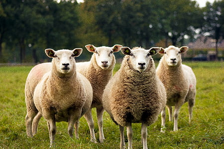 four white sheep on green field