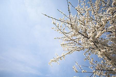 Apple-Tree and Blue Sky