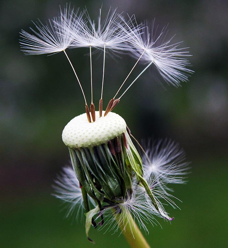 macho photography of white dandelion