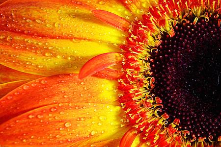 Macro shot of a vibrantly coloured Gerbera flower