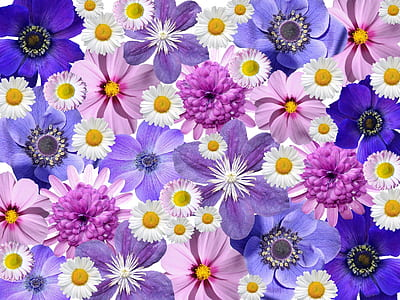 pink and blue daisy flowers with purple anemone flowers