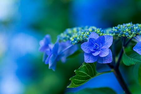 blue lacecap hydrangeas in bloom at daytime