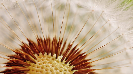 close up shot of dandelion flower