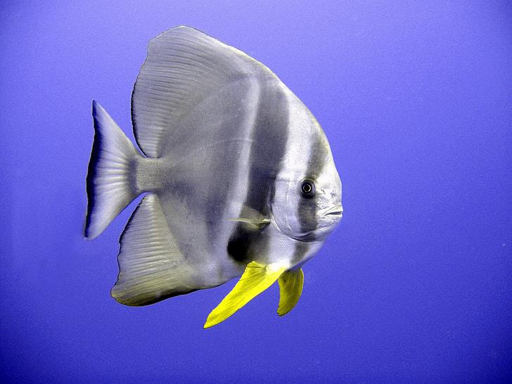 grey and yellow fish