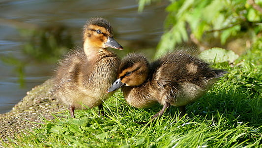 two brown ducks on grass field
