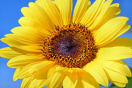 yellow and brown sunflower