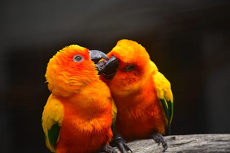 shallow focus photography of two yellow-orange birds