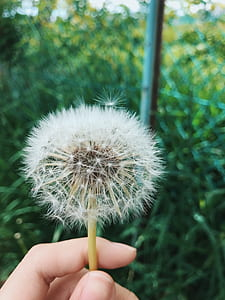 Person Holding Dandelion Flower At Daytime