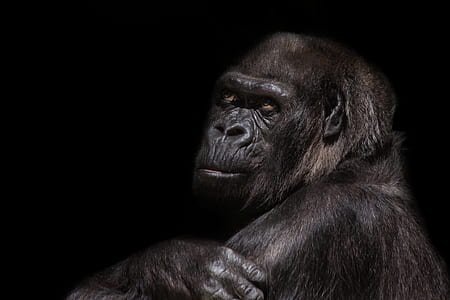 black Gorilla photography with black background