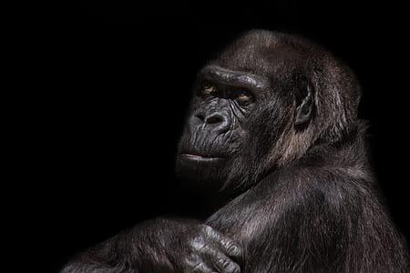 black Gorilla photography with black background