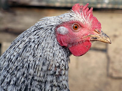 gray and red rooster close-up photography