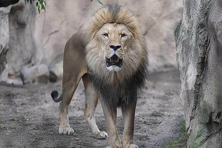 brown lion surrounded by rocks
