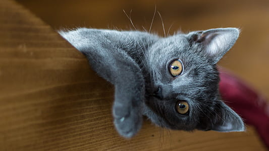 gray kitten on brown wooden panel