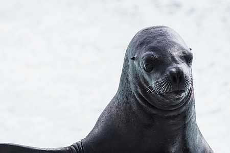 black sea lion