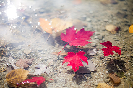 red maple leafs floating on calm body of water during daytime