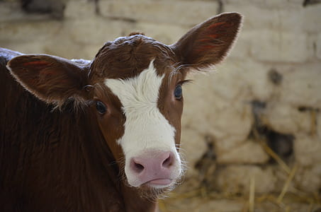 white and brown cow in close up photography