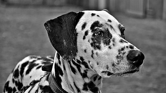 grayscale photography of adult Dalmatian