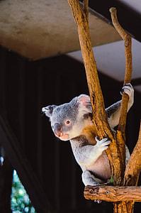 gray koala on brown wood stand