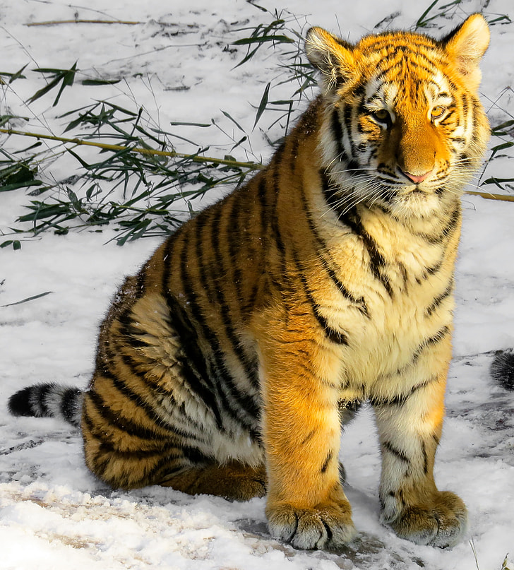 Tiger sitting on ice-covered road