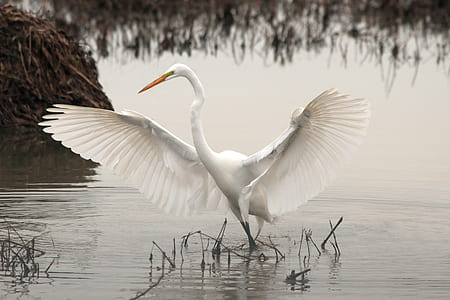 great egret on water during daytime