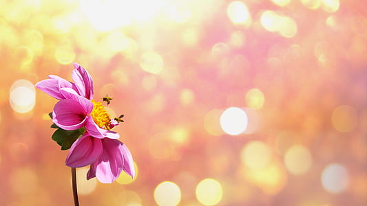 two bees perched on pink dahlia flower with orange bokeh photography background