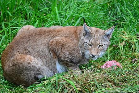 Brown Bobcat on Green Grass