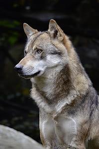 wolf, face, fur, close, wild animal, predator