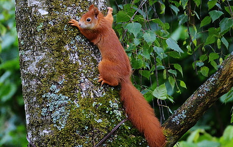 brown squirrel hanging on tree