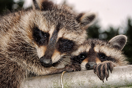 two brown raccoon on gray metal rod