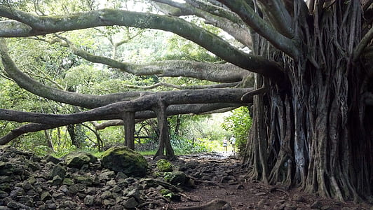huge tree beside rocks