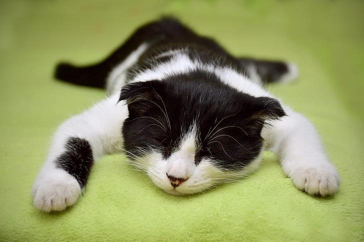 short-fur white and black cat