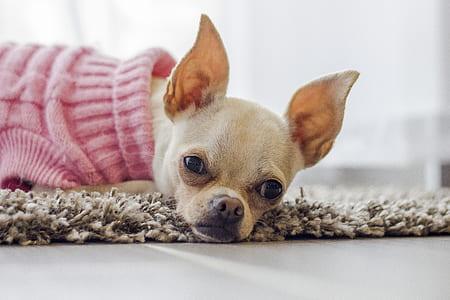 adult beige Chihuahua .