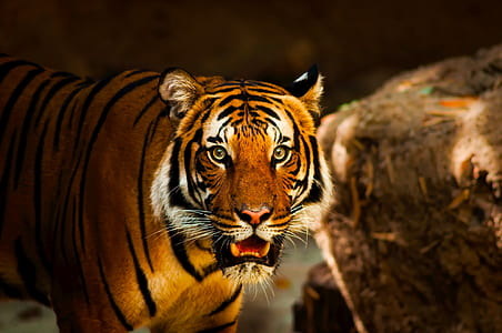 photography shallow focus of tiger